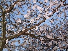 Sakura200801_2